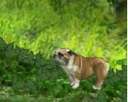 Buddy the bulldog kuty�s j�t�kok